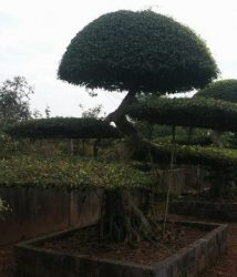 Nam Điền thương hiệu từ một làng nghề cây cảnh