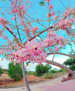 Hoa Đỗ Mai