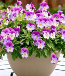 Các loài hoa đẹp dành cho sân vườn nhà phố